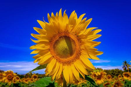 Beautiful Sun Flower Field at Lopburi province, Thailand
