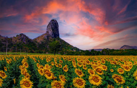 Sunflowers field with sunset at Khao Jeen Lae,Lopburi Province,Thailand Imagens