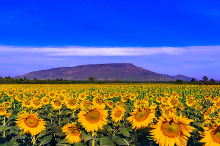 Sunflowers field with mountain background at Lopburi Province,Thailand