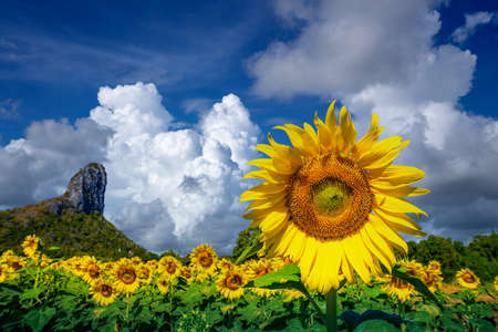 Sunflowers field with blue sky at Khao Jeen Lae,Lopburi Province,Thailand.