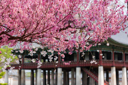 View of the beautiful cherry blossoms at the Gyeongbok Palace in spring in Seoul, South Korea