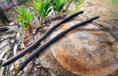 Cassia flower seed on palm tree stump
