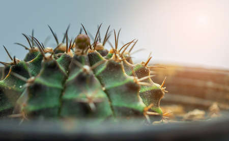 Closeup of spines on cactus, Cactus with sharp thorns