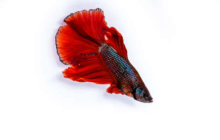 Rhythmic of Betta fish, siamese fighting fish betta splendens ,isolated on white background