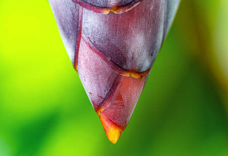 Close up banana flower - The teardrop-shaped purple flower at the end of the banana fruit cluster in a banana tree is called as banana heart