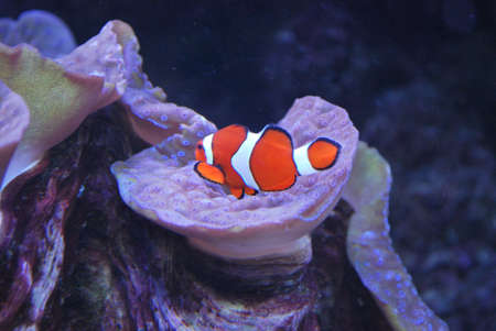 Clown fish in an aquarium Stock Photo - 16898752