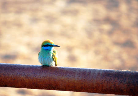 Bee eater Stock Photo - 16898761