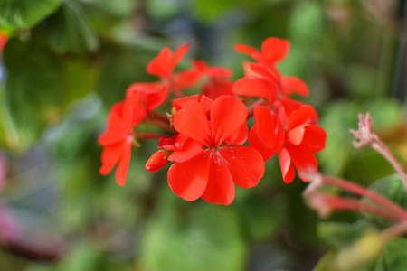 envoronment: Red geranium Stock Photo