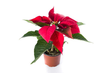 Christmas poinsettia flower isolated on white background
