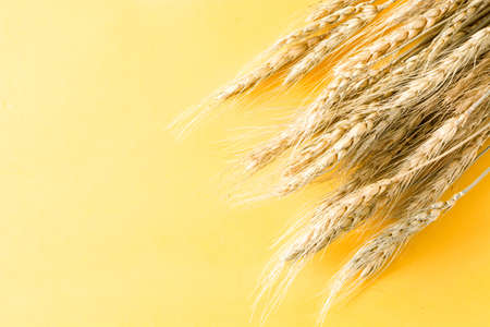 Wheat ears on yellow background. Copyspace
