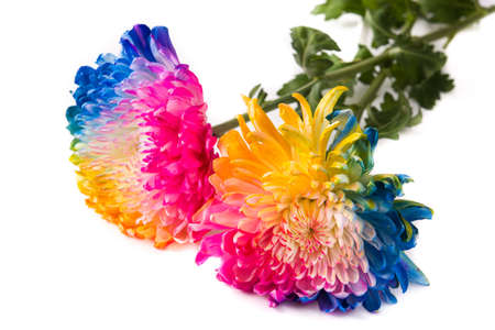 Multicolored flower isolated on white background