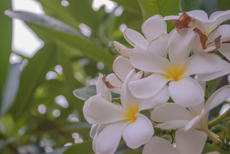 Leelawadee flower, beautiful white flower in thailand photo