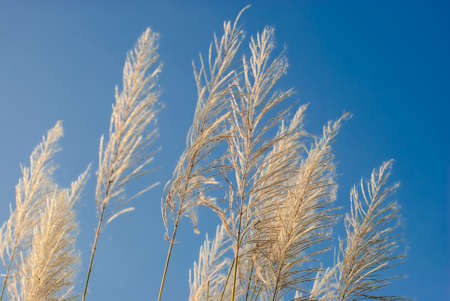 pampas grass (Cortaderia selloana) flowers with blue sky and white clouds in background photo