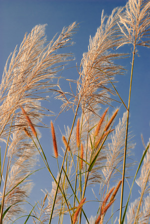 pampas grass (Cortaderia selloana) flower panicles with pale blue sky and white clouds in background photo