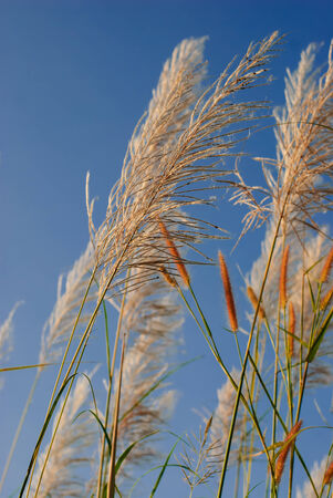 Light golden colored pampas grass  flower panicles with pale blue sky and white clouds in background photo