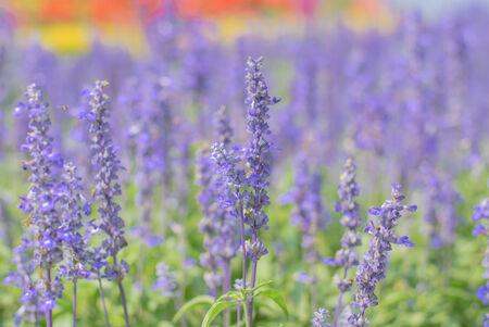 lobelia: Beautiful Lobelia blue at a garden in the afternoon