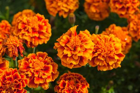 tagetes: Marigold Flower Or Tagetes Patula Blossom Stock Photo