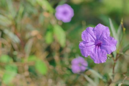 petunia wild: Macro shot of the purple wild petunia flower