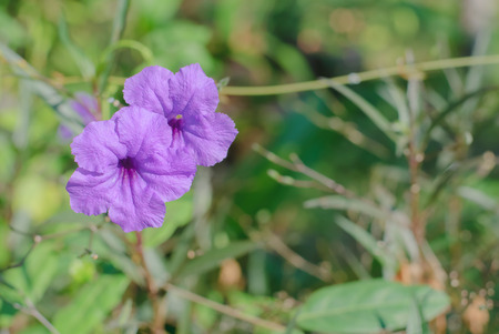 petunia wild: shot of the purple wild petunia flower