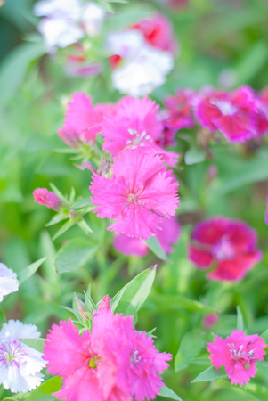 dianthus: Dianthus chinensis blooming in garden (China Pink) Stock Photo