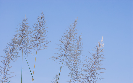 swaying: closeup of pampas grass against the blue sky
