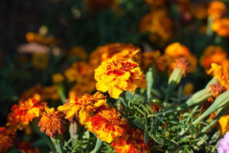 patula: French Marigold Flower Or Tagetes Patula Blossom Stock Photo