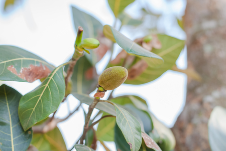 Bunch of Baby Jackfruits with leaf Background Copy Space Closeup photo