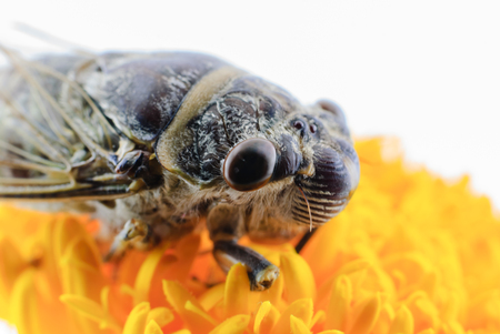 cicada bug: nsect singing Cicada on a yellow marigold flower Stock Photo