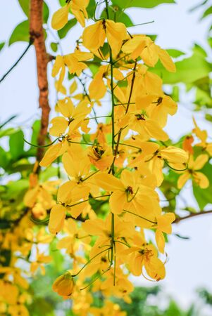 fistula: Golden Shower flowers (Scientific name : Cassia fistula.)
