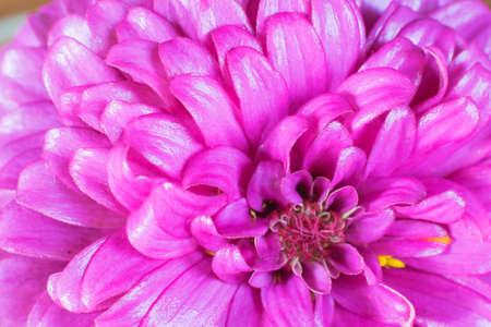 zinnia: purple zinnia petals background, Classic zinnia background