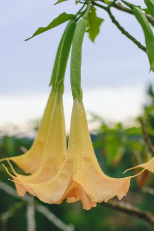 hallucinogen: Brugmansia or Angels Trumpets or Datura bunch of flowers