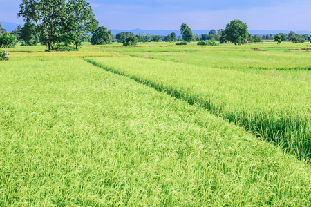 rice plant: Rice plant in rice field, Thailand, Asia Stock Photo