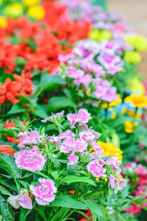 flor morada: flor Dianthus chinensis es una especie nativa de Dianthus