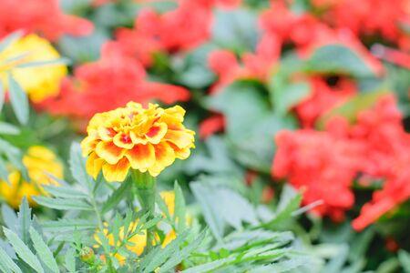 patula: Marigold Flower Or Tagetes Patula Blossom image