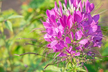 weeds: spider plants, spider weeds, or bee plants. Stock Photo