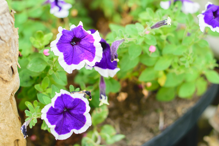 anthesis: Image of Petunia Flowers in the Garden Stock Photo