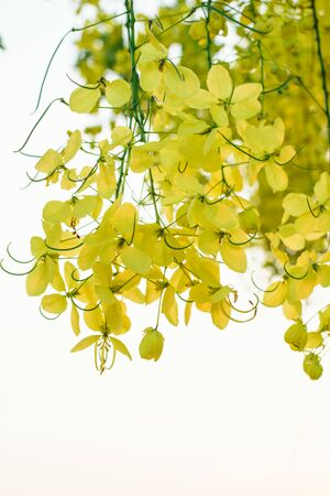 fistula: Yellow flower of Cassia fistula or golden shower tree