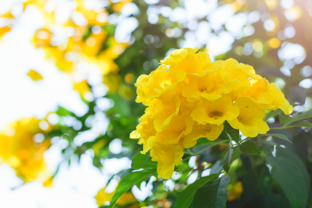 tacoma: Tecoma stans or Yellow Trumpet bush flower on tree
