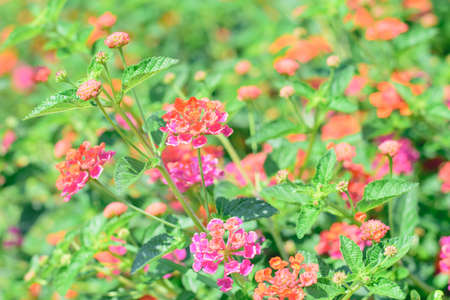 lantana camara: beautiful blooming Lantana camara blur flowers background Stock Photo