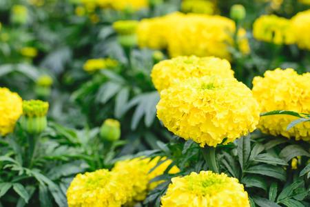 african marigold: Yellow Marigolds flower (Tagetes erecta Mexican marigold Aztec marigold African marigold)