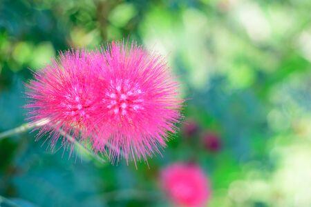powder puff: Pink Red Powder Puff or Calliandra haematocephala