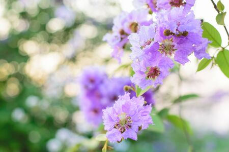 myrtle green: Pink Lagerstroemia macrocarpa flower blooming on tree Stock Photo