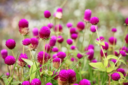 Beautiful globe amaranth flowers fresh in nature on background