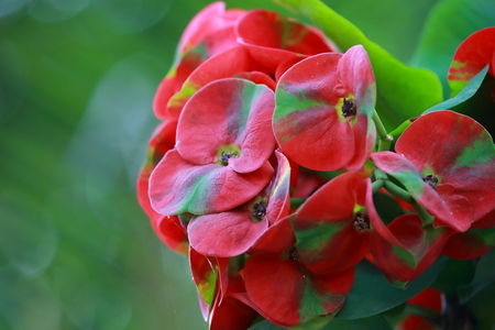 Euphorbia milli crown of thorns flower in nature