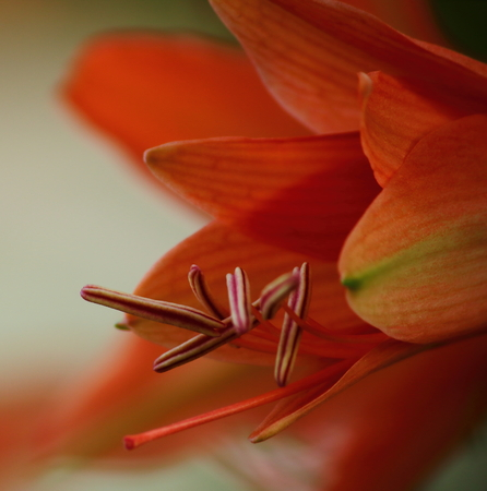 Red Amaryllis flowers blossoming in the spring garden