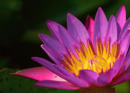 Close up beautiful single blooming purple lotus in nature Stock Photo