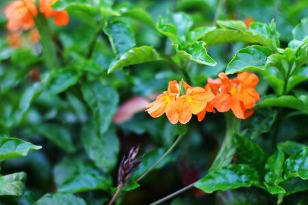 Beautiful bright fiery orange flowers of Crossandra infundibuliformis (firecracker flower) Stock Photo