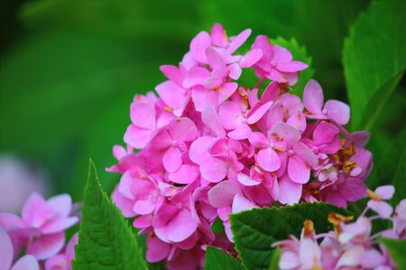 Pink Hydrangea flower (Hydrangea macrophylla) in a garden Stock Photo