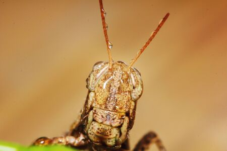 beautiful insect grasshopper is masked among green leaves in sunny for background