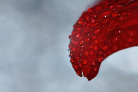 macro drop and red beautiful flower in nature for beautiful background